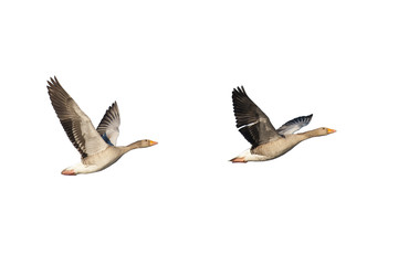 Flying greylag geese isolated on white