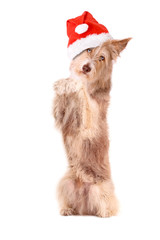 Hund mit Weihnachtsmütze macht Männchen