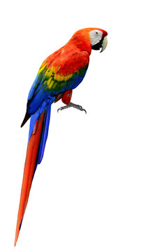 Beautiful Scarlet Macaw bird in natural color with full details