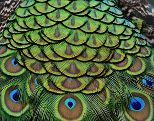 Close up of Peacock bird feathers with sharp in details
