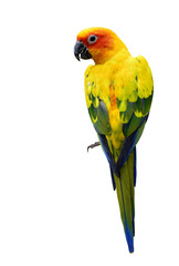 Foto op Canvas Papegaai Colorful Sun Conure, the beautiful yellow parrot bird isolated o