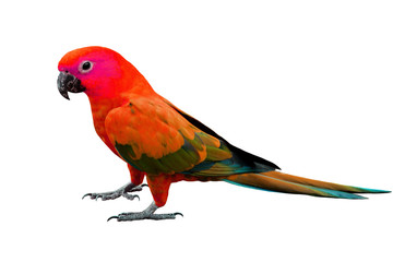 Red Parrot standing on the floor isolated on white background