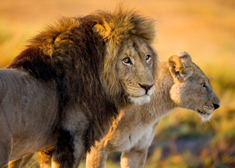 Lion and lioness in the savannah. Zambia.