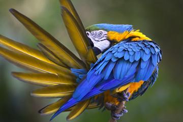 Portrait of blue-and-yellow macaw (Ara ararauna)  Fotomurales
