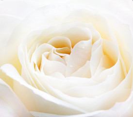 delicate white rose close up image
