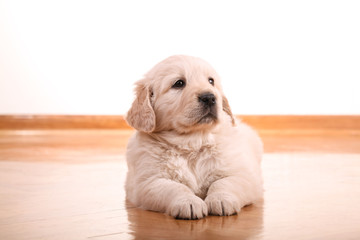 Golden retriever puppy laying on wooden floor