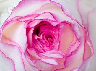 Close up of the pink rose petails