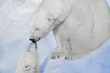 Белые медведи целуются.
