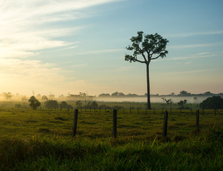Single Tree of Brazil Nuts