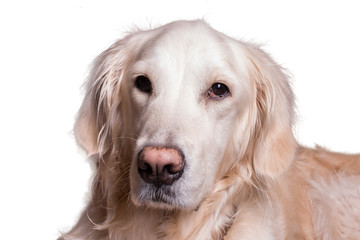golden retriever dog sitting on isolated white background