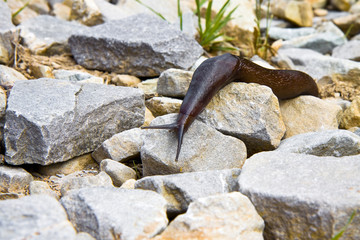 A big snail slowly creeps on the stones