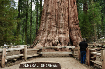 General Sherman Tree, Wall mural