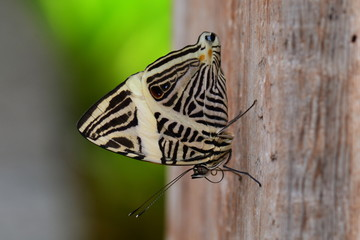 A Neotropical mosaic butterfly lands in the gardens.
