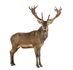 Poster Deer Red deer stag in front of a white background