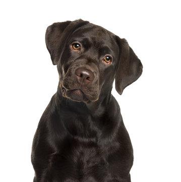 3 367 Best Chocolate Labrador Images Stock Photos Vectors Adobe Stock