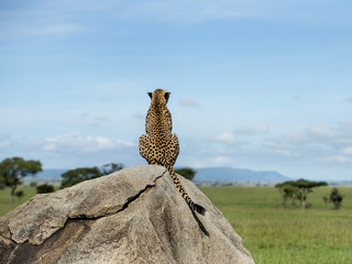 Obraz Cheetah sitting on a rock and looking away, Serengeti, Tanzania - fototapety do salonu