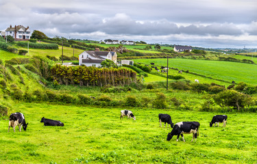 Keuken foto achterwand Lime groen Herd of cows in pasture in County Antrim of Northern Ireland