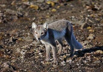 Arctic fox in summer season