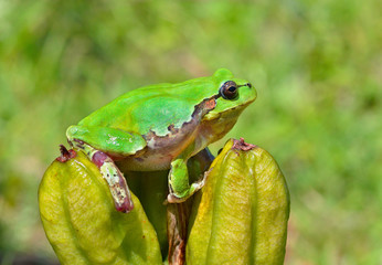 Hyla (tree toad) 20