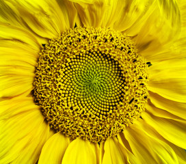 Sunflower blossom background