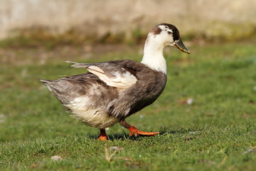 domestic duck on lawn