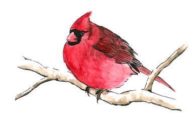 red cardinal bird perched on branch isolated white background for clip art, cute red songbird with black mask eyes and fluffed out feathers is hand drawn watercolor nature painting illustration