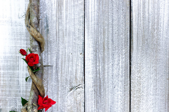 Red rose buds on vine by whitewash painted wood fence