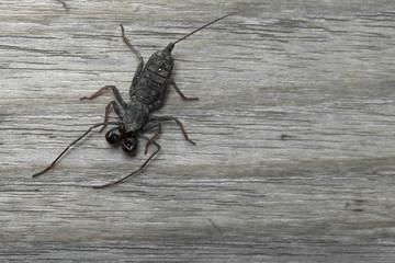 Whip scorpion on wooden floor