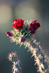 Cholla Cactus with scarlet-red flowers in Arizona's Sonoran Desert