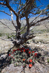 Sprawling Claret Cup Cactus under a dead tree in Guadalupe Mountains National Park in Texas