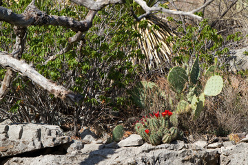 Red-flowered Claret Cup and Prickly Pear Cacti in Guadalupe Mountains National Park in Texas