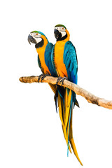 Couple Macaw Parrot isolated on white background