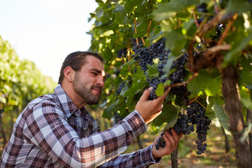 Winemaker picking blue grapes