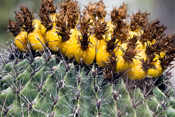 Closeup of yellow fruit on a Fishhook Cactus in an Arizona field