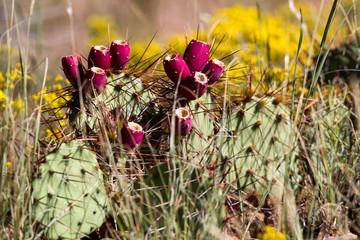 Red-ripe fruit, called nopal or tuna, on Prickly Pear Cactus in a flowery New Mexico field