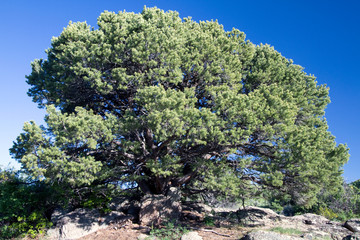 Perfect specimen Pinyon Pine in Black Canyon of the Gunnison National Park in Colorado