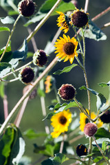 Sunflowers and seed heads along a New Mexico roadway in late summer