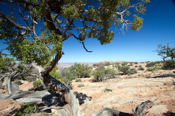 Utah Juniper in Canyonlands National Park in southern Utah