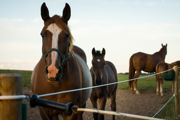 Chestnut mare and her foal looking into the camera