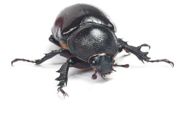 Rhinceros Beetle,Unicorn Beetle isolate on white