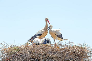 White stork with young baby storks on the nest - Ciconia ciconia
