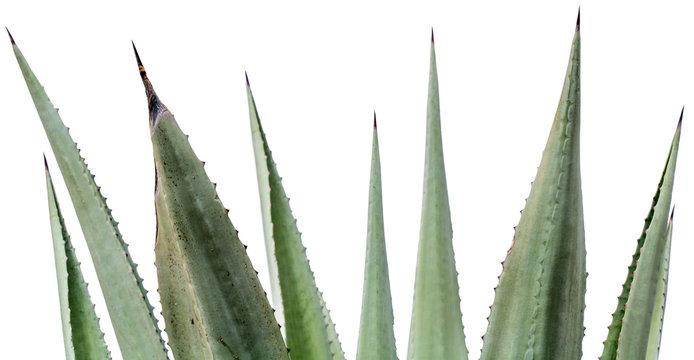 épines de feuilles d'agave americana sur fond blanc