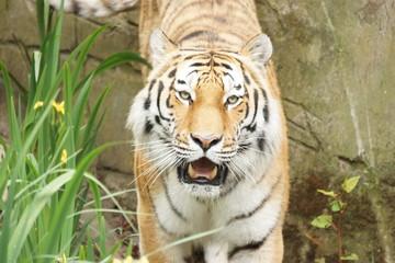 frontal Ansicht eines Tiger