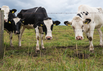 Curious cows at the barbed wire fence