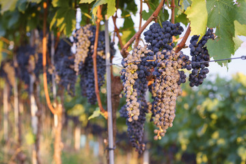 Closeup of ripe Cabernet Sauvignon grapes on the vine. Selective focus.
