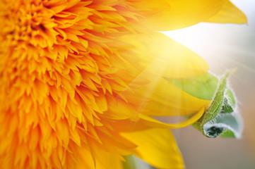 Macro of decorative sunflower