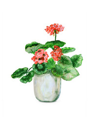Pink geraniums on white - oil painting