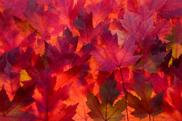 Red Maple Leaves Fall Color Background