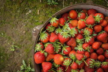 Wild Natural Red Strawberries, Strawberry in Rustic Iron Pot on