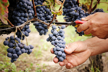 cutting ripe grape